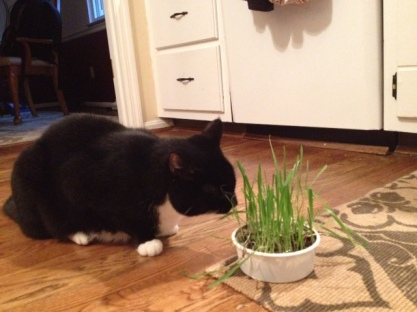 Corey snacking on some cat grass. Such a treat for him!