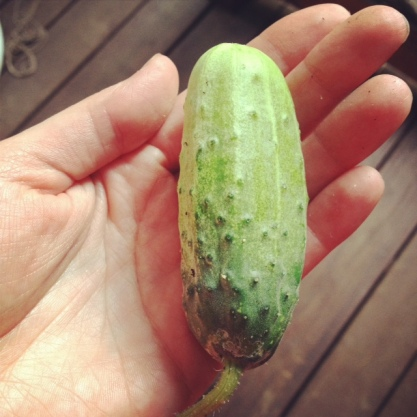 Adult pickling cucumber.