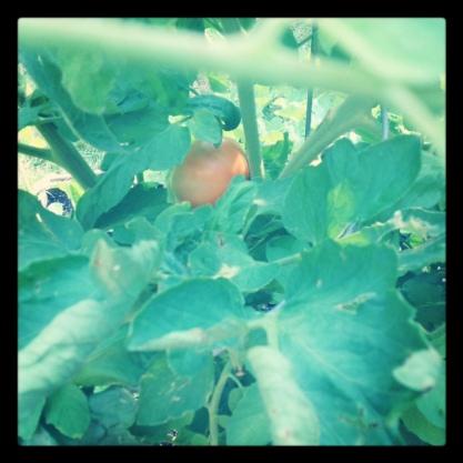 Tomato in hiding.