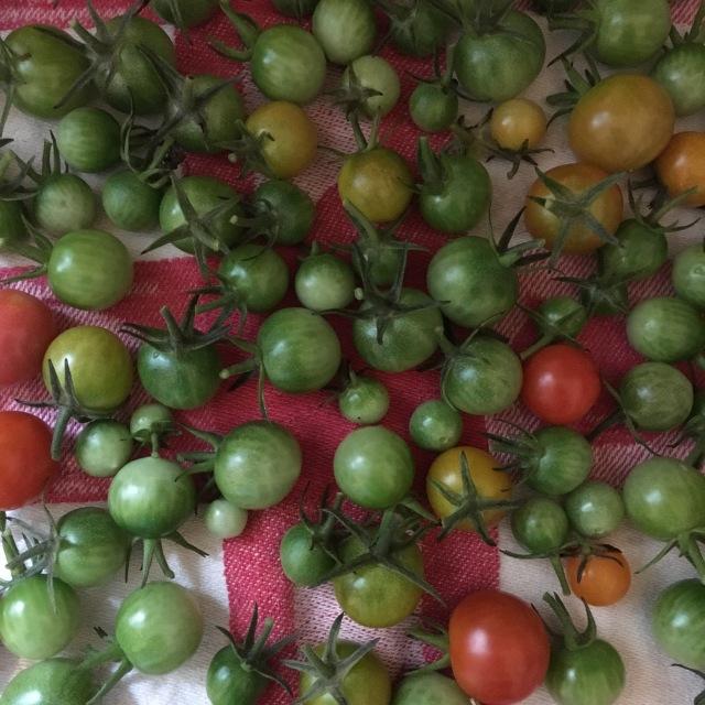 Garden_02_Tomatoes